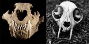 Skull-combing
